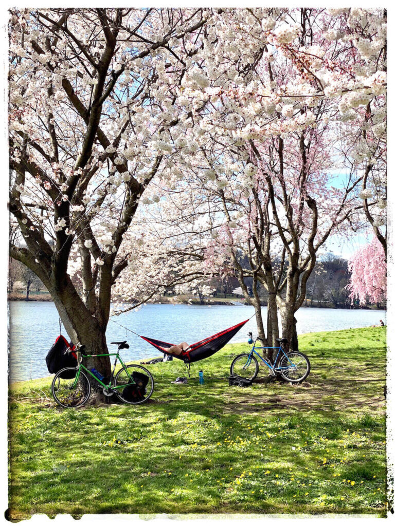 A hammock swings between two cherry blossom trees that are in full bloom along the Schuylkill River in Philadelphia